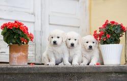三只可爱的金毛猎犬小狗 图库摄影