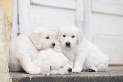 三只可爱的金毛猎犬小狗 免版税库存图片