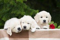 三只可爱的金毛猎犬小狗 库存照片