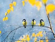 三只可爱的鸟山雀在公园坐在增殖比中的一个分支 免版税图库摄影