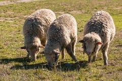 三只吃草的美利奴绵羊 免版税库存图片