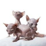 三只唐sphynx小猫 库存照片