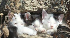 三只困小猫在阳光下& x28; color& x29; 免版税库存照片