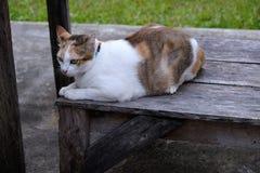 三只在木的泰国猫睡眠 图库摄影