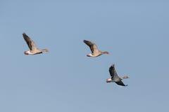 三只在蓝天的飞行的灰色鹅分析服务公司分析服务公司飞行 免版税库存照片
