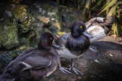 三只坐地面脚的三黑鸭黄色眼睛规则  图库摄影