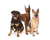 三只大品种护卫犬 免版税库存照片