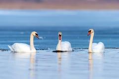 三只天鹅在湖 免版税库存图片