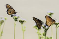 三只女王蝴蝶在花栖息有棕褐色的背景 免版税库存照片