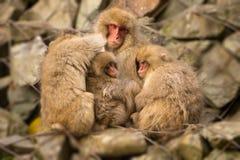 三只婴孩日本短尾猿由他们的母亲holded在Jigokudani 库存图片