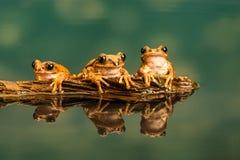 三只孔雀雨蛙Leptopelis vermiculatus 反射在水中 免版税图库摄影