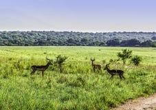 三只学士飞羚对峙在克鲁格全国Pa 库存图片