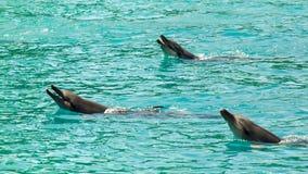 三只宽吻海豚(Tursiops Truncatus) 免版税库存照片