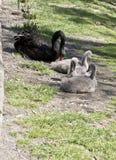 三只小天鹅和天鹅 免版税库存照片