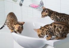 三只小小猫喝水和戏剧用水 库存图片