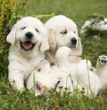 三只小狗金毛猎犬使用 免版税库存图片