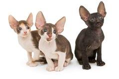 三只小猫品种康沃尔雷克斯 免版税库存图片
