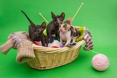 三只小猫康沃尔雷克斯 库存图片