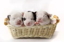 三只小的小狗 免版税库存图片