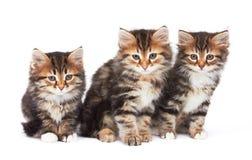 三只小的小猫 库存图片
