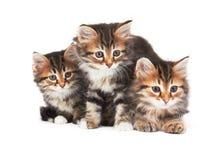 三只小的小猫 库存照片