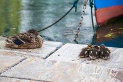 三只小野鸭鸭子和他们的母亲鸭子 图库摄影