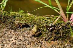三只小青蛙 库存照片