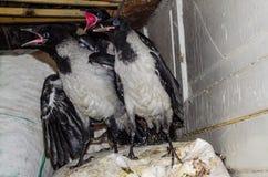 三只幼小灰色乌鸦 库存图片