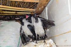 三只幼小灰色乌鸦 免版税库存图片