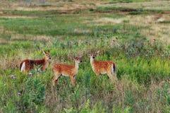 三只弗吉尼亚白尾鹿小鹿 库存图片