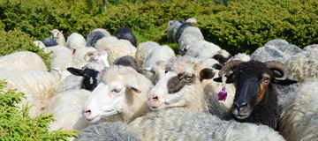 三只微笑的绵羊在牧场地(白色和黑色) 免版税库存图片