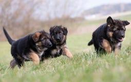 三只德国牧羊犬小狗使用 免版税库存图片