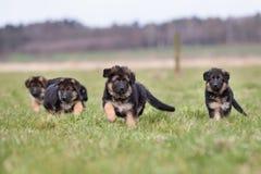 三只德国牧羊犬小狗使用 免版税图库摄影