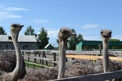 三只愉快的驼鸟 免版税库存照片
