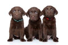 三只拉布拉多猎犬小狗 免版税库存照片