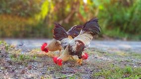 三只搜查的公鸡为他们的在地面的食物发现 免版税库存图片