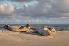 三只斑海豹,海豹属vitulina,基于海滩 在Grenen,丹麦的清早 免版税库存照片