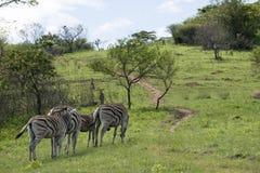三只斑马和驹在自然保护草原  免版税库存图片