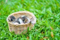 三只新出生的小猫在柳条筐坐绿草 免版税库存照片