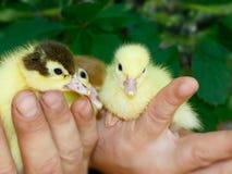 三只新出生的野鸭和麝香鸭子在人农夫的手上 免版税库存图片