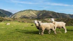 三只新西兰绵羊 库存图片