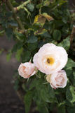 三只桃红色玫瑰和蜂蜜蜂 库存照片
