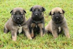 三只棕色小狗 免版税图库摄影