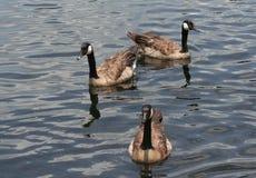 三只棕色鹅在湖 库存照片