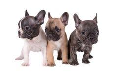 三只法国牛头犬小狗 库存照片