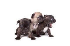 三只法国牛头犬小狗 免版税图库摄影