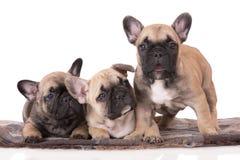 三只法国牛头犬小狗 免版税库存照片