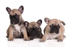 三只法国牛头犬小狗 免版税库存图片