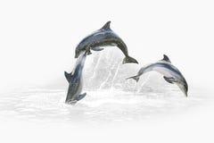 三只海豚跳跃 免版税库存图片
