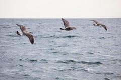 三只海鸥群  免版税库存照片